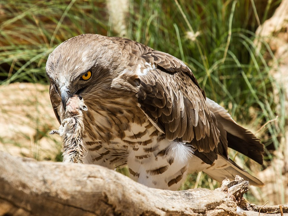 Short-toed Eagle with rat