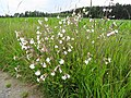 Silene latifolia Poir Syn. Melandrium album (Mill.) Garcke (7454032708).jpg