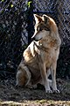 Sitting Wolf (8505326029).jpg
