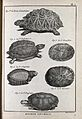 Six species of tortoise, including the african land tortoise Wellcome V0022700.jpg