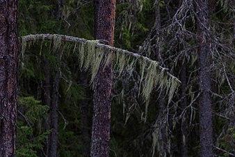 Skägglav berge urskog.jpg