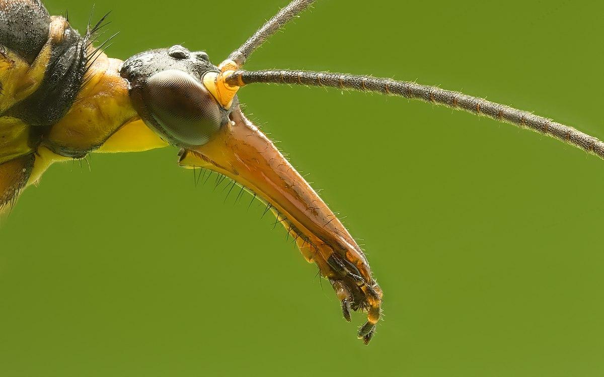 Skorpionsfliege Panorpa communis head.jpg