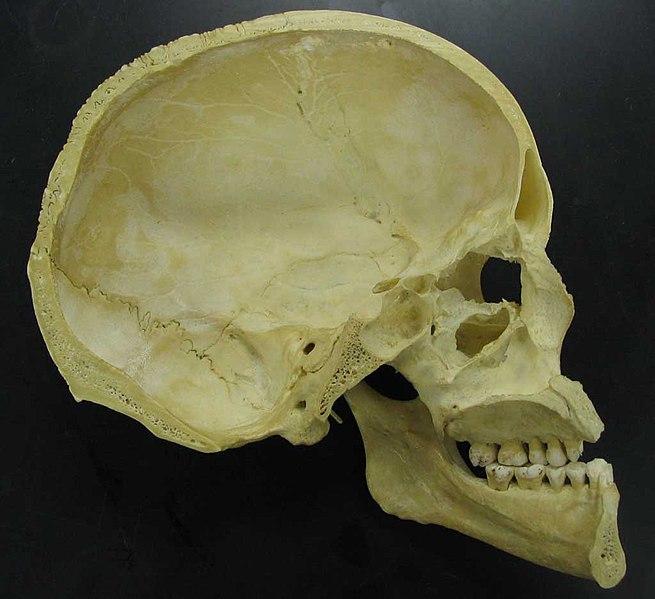 File:Skull - midsaggital section P.2005.jpg