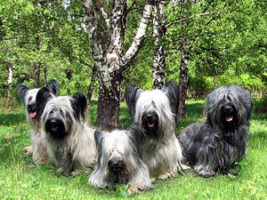 Vulnerable Native Breeds - There were only 37 Skye Terrier puppies registered with the Kennel Club in 2010