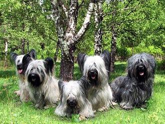 Skye Terrier - Skye terriers