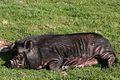 Sleeping Pig.jpg