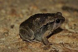 Slender-digit Chorus Frog (Kaloula picta).jpg