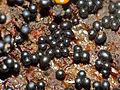 Slime Mold (Trichia botrytis) sporangia ripening (13563194563).jpg