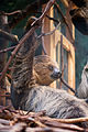 Sloth Hanging On (18875404265).jpg