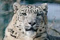 Snow Leopard (5370666199).jpg