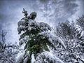 Snowy Fir (6767705433).jpg