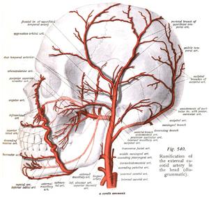 Deep temporal arteries - Wikipedia