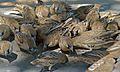 Sociable Weavers (Philetairus socius) (6499459655).jpg