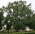 Sokółka park pomnikowy dąb 14. 07.2009 p.jpg