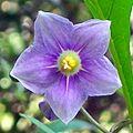 Solanum avicular Chatswood.jpg