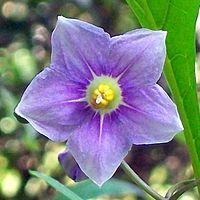Solanum avicular Chatswood