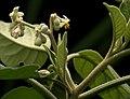 Solanum erianthum Don W2 IMG 1616.jpg