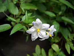 Solanum japonense1titanium22