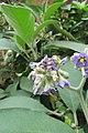 Solanum mauritianum - Wild tobacco tree - at Ooty 2014 (2).jpg