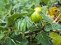 Solanum viarum 03.JPG