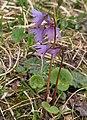 Soldanella alpina 2 RF.jpg