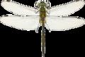 Somatochlora flavomaculata hann Liljeberg.png