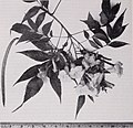 Some ornamental shrubs for the Tropics (1951) (20576697031).jpg