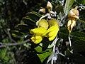 Sophora chrysophylla (4737217288).jpg