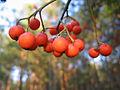 Sorbus berries.jpg