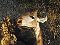 South African Giraffe 21.jpg