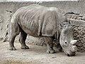 Southern white rhinoceros.jpg