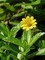 Sphagneticola calendulacea in Aanakkulam.jpg