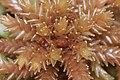 Sphagnum magellanicum (a, 150139-481741) 6951.JPG