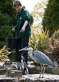 Spheniscus humboldti -Birdworld, Farnham, Surrey, England -zoo keeper-8a.jpg