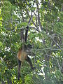 Spider Monkey - Nicaragua Lake.JPG
