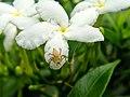 Spider sitting in a flower.jpg