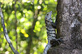 Spiny-tailed black iguana.JPG