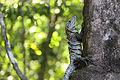 Spiny-tailed black iguana.JPG