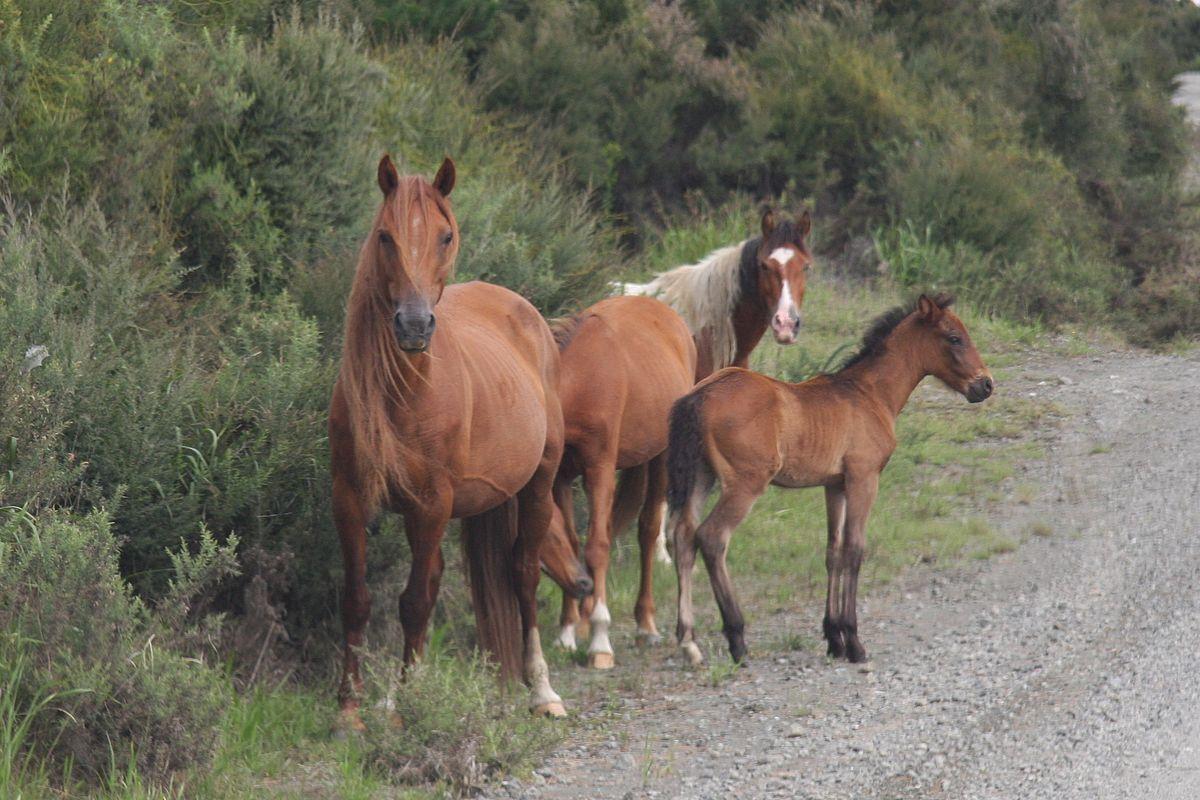 kaimanawa horse wikipedia