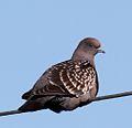 Spot-winged Pigeon (Patagioenas maculosa) (15772735510) (cropped).jpg