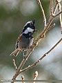 Spot-winged Tit (Periparus melanolophus) (45695319395).jpg