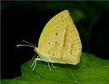 Spotless Grass Yellow (Eurema laeta). Thane, Maharashtra..jpg