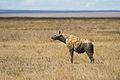 Spotted Hyena in Serengeti2.jpg