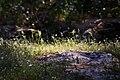 Spring Sunfleck (207851405).jpeg