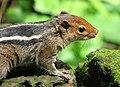 Squirrel (2124995792).jpg