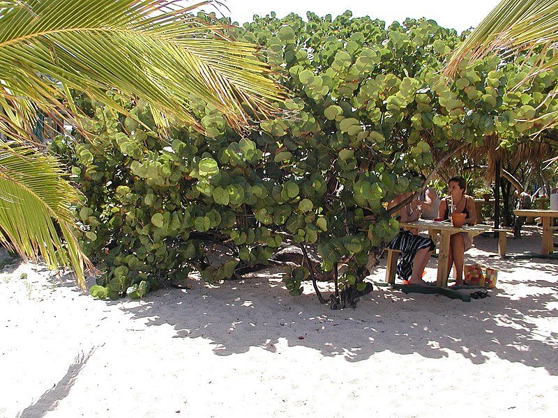 File:St. Barts Baie de Saint-Jean vegetation.jpg