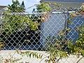 Starr-010304-0488-Quisqualis indica-habit-Kihei-Maui (23905198273).jpg