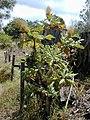 Starr-010419-0039-Bocconia frutescens-habit-Kula-Maui (23904027124).jpg