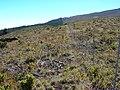 Starr-041211-1422-Pinus patula-fenceline-Puu Nianiau-Maui (24603379352).jpg