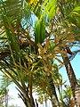 Starr-060922-9129-Chrysalidocarpus lutescens-flowers-Kahului Airport-Maui (24747790032).jpg